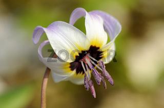 Blüte einer Zahnlilie