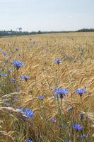 Cornflowers nearby Fichtenau, Germany