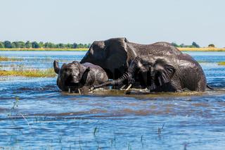 Watering  African elephants