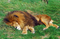 Picture of a big male lion sleeping in the sun