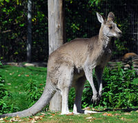 Portrait of an Eastern Grey Kangaroo (Macropus giganteus)