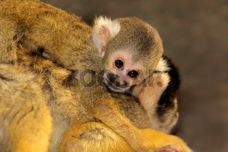 Squirrel monkey with baby