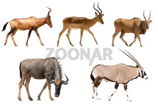Set of five different antelopes