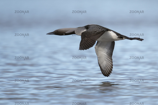 in typical flight... Black-throated Loon *Gavia arctica*