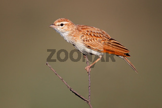 Fawn colored lark