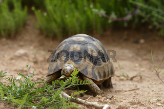 Leopard Tortoise, Addo Elephant National Park