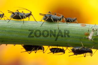 Rosenblattlaus, Rosenlaus, Grosse Rosenblattlaus, Macrosiphum rosae, Cootie, flea, louse