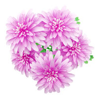 top view of pink chrysanthemum flower isolated on white background