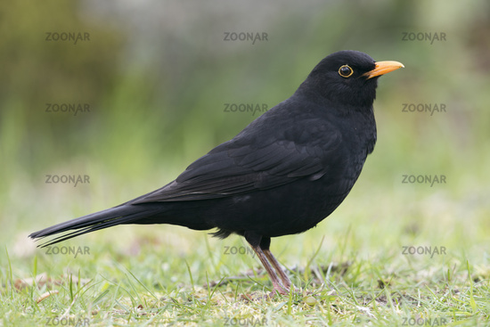 from a low point of view... Common Blackbird *Turdus merula*