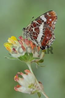 Landkaertchen (Araschnia levana)