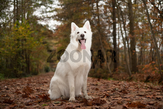 White sheppard in the forest is sitting