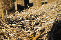 Straw in harvest