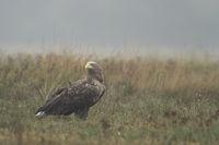 on a hazy morning... White-tailed Eagle *Haliaeetus albicilla*