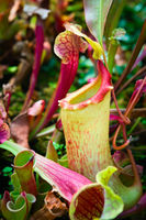 Bright carnivorous plant in green forest