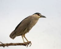 Black Crowned Night Heron Birds