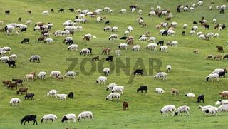Gemischte Herde aus Schafen und Kaschmir Ziegen