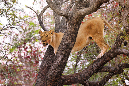 lioness stands in a tree, Kruger NP, South Africa