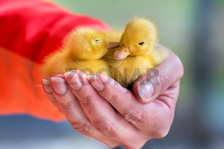 Two newborn yellow ducklings sitting on hand