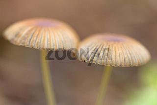 Pilz (Fungi)