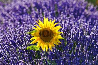 Sonnenblume im Lavendel, Provence, France