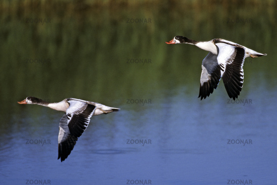 Common Shelduck, moulting flocks can be very large, for example 100.000 birds on the Wadden Sea