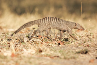 Banded Mongoose-Streifenmanguste