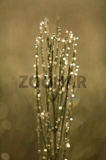 Schachtelhalm, Tautpropfen, Equisetum, Horsetail, dewdrops