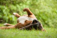 Boxer rolling on the grass
