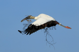 Wood stork flying with nesting material