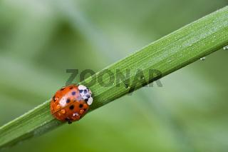 Marienkäfer (Coccinellia septempunctata) im Morgentau -  ladybird (Coccinellia septempunctata) with dew drops