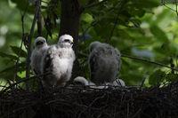 in soft spotlight... Eurasian Sparrowhawk *Accipiter nisus*