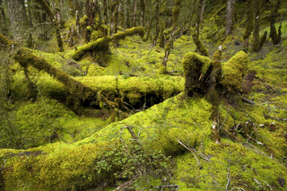 Maerchenwald, zauberhafter Suedbuchenwald mit dick mit Moos und Flechten bewachsenen Baeumen und Boden,  Haast Pass Heritage Highway, Suedinsel, Neuseeland Fairy forest, magical Mountain Beech forest with thickly moss- and lichen-covered trees and ground,