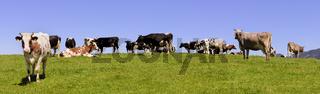 Kühe und Rinderherde auf Weide