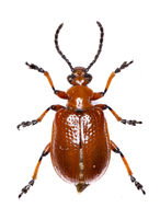 Shining Leaf Beetle on white Background - Lilioceris merdigera  (Linnaeus, 1758)