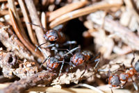 Ants coming out of their anthill