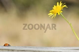 Siebenpunkt-Marienkäfer (Coccinella septempunctata)  auf den langen Weg zu einer gelben Schwarzwurzel (Scorzonera austriaca Wild)