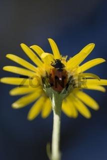 Siebenpunkt-Marienkäfer (Coccinella septempunctata)  auf einer gelben Schwarzwurzel (Scorzonera austriaca Wild)