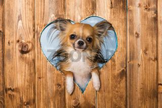 Chihuahua schaut durch ein Herz