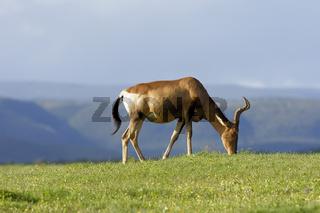 Red Hartebeest grazing, Addo Elephant National Park