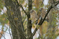 two little owlets... chicks of Tawny Owl *Strix aluco* sleeping over day high up in a tree