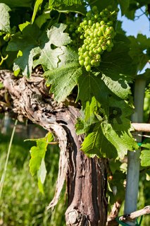 Small green grapes