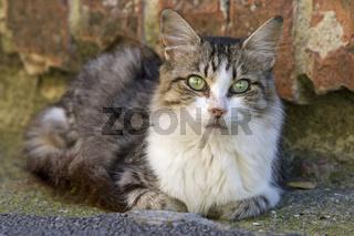 Katze, Toskana, Italien, Europa, Cat, Tuscany, Italy, Europe