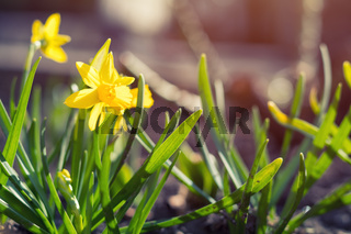 Yellow blooming daffodil. Sunny day. It rains in sunny day. Low angle. Sunshine. Sunrise. Shallow depth of field. Copy space.