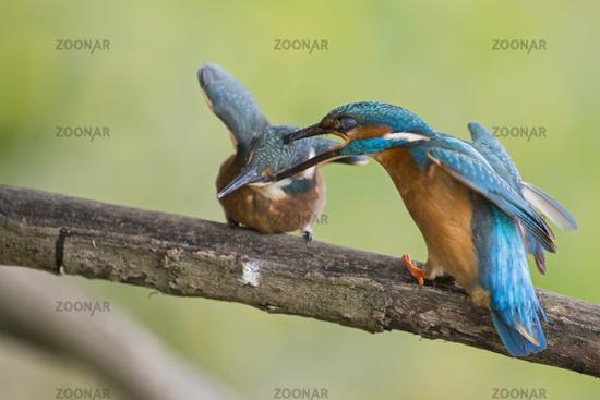 education methods... Common Kingfishers *Alcedo atthis*