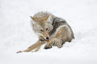licking its paws... Coyote *Canis latrans*