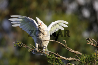 Close up of a Little corella on a branch spreading its wings, Dunsborough, Western Australia