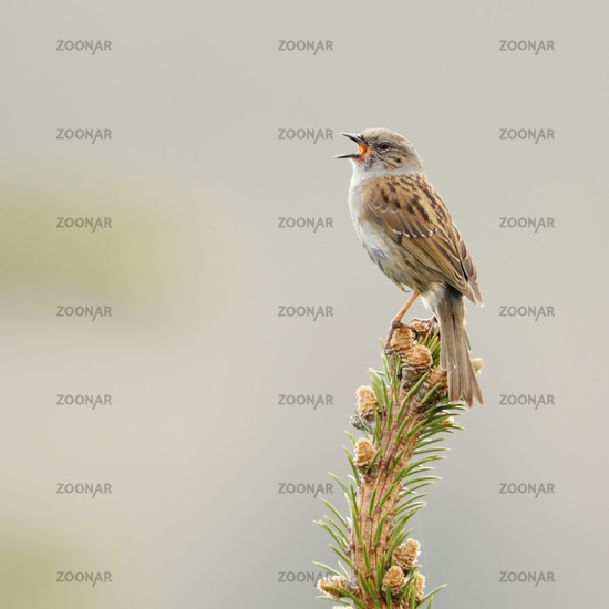 Dunnock * Prunella modularis *, singing its song