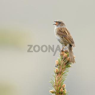 Balzgesang... Heckenbraunelle *Prunella modularis* sitzt auf der Spitze eines Nadelbaumes und singt