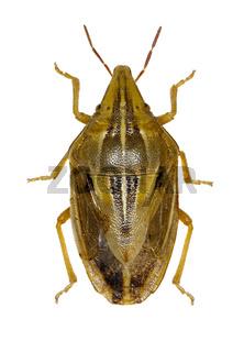 Wheat Stink Bug on white Background  -  Aelia rostrata (Boheman, 1852)
