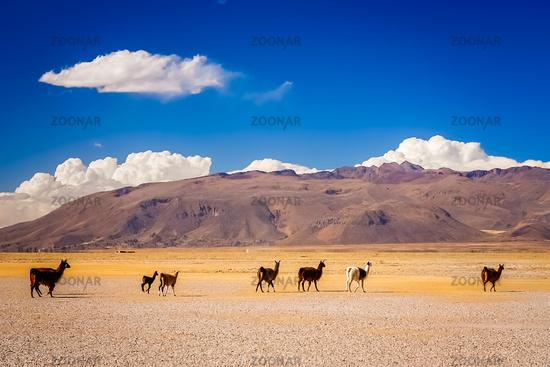 Herd of llamas on Altiplano plain